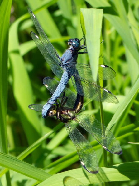 Spangled Skimmer dragonflies | mating pair (in wheel)