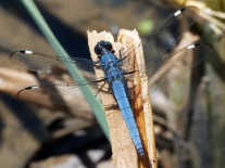 Spangled Skimmer dragonfly | male
