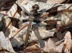 Common Whitetail dragonfly | immature male