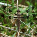 Common Whitetail dragonfly | female
