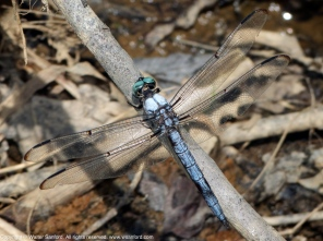 Great Blue Skimmer dragonfly | mature male