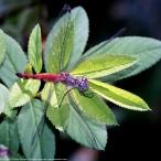 Blue-faced Meadowhawk dragonfly (female, malformed)