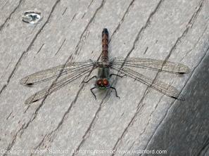 Blue-faced Meadowhawk dragonfly (female)