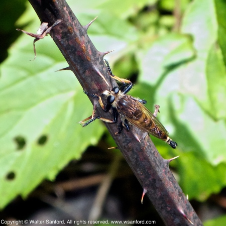 Robber Fly (Family Asilidae)