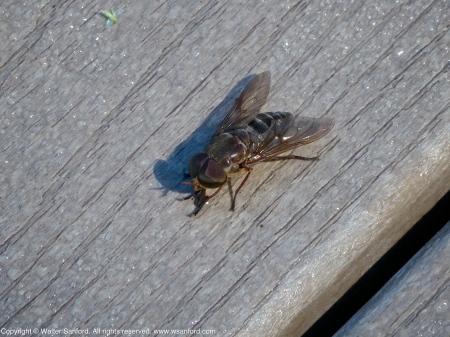 18 September 2013. Male horse fly (Tabanus calens).