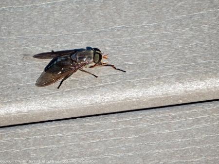 20 September 2013. Female horse fly (Tabanus calens).