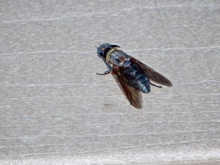 20 September 2013. Photo 2. Horse fly (female).
