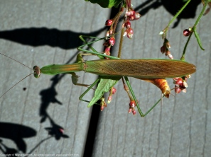 Unknown mantis (male)