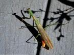 Unknown mantis (male)