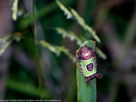 Saddleback Caterpillar Moth (Acharia stimulea)
