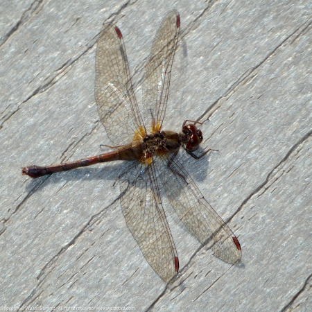 Autumn Meadowhawk dragonfly (female)