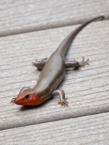 Common Five-lined Skink (adult male)