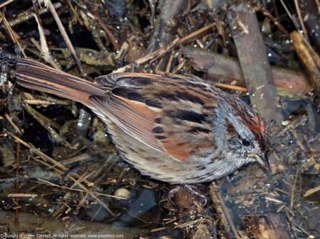 Swamp Sparrow (Melospiza georgiana)