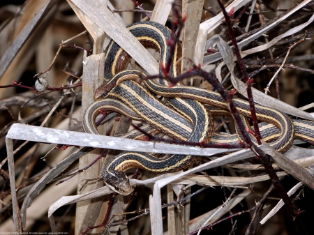 Common Ribbonsnakes (mating pair)