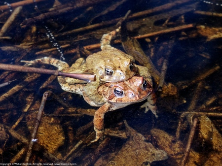 American Toads (mating pair)
