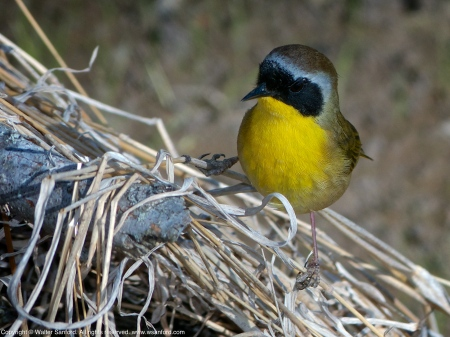 Common Yellowthroat (male)