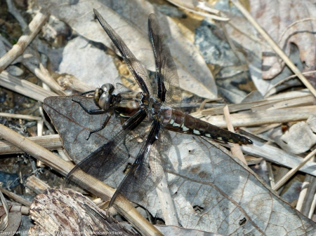 Common Whitetail dragonfly (immature male)