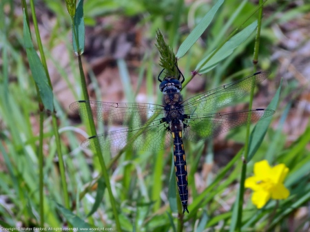Common Baskettail dragonfly (male)