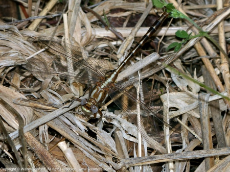 Ashy- or Lancet Clubtail