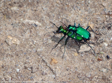 Six-spotted Tiger Beetles (mating pair)