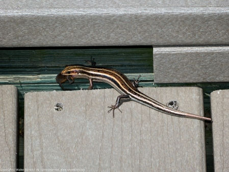 Common Five-lined Skink (adult, eating a spider)