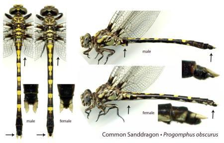 Ed-Lam_Common-Sanddragon_male-female