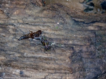 Common Sanddragon dragonfly (emerging, teneral, exuvia)