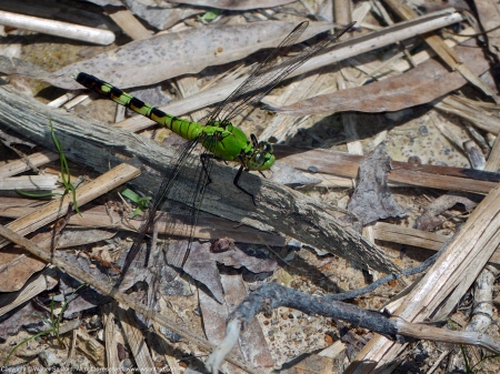 Eastern Pondhawk dragonfly (female)