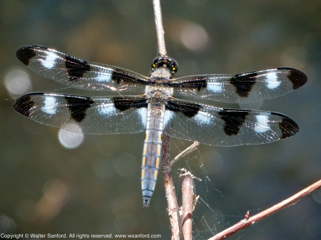 Twelve-spotted Skimmer dragonfly (young male)