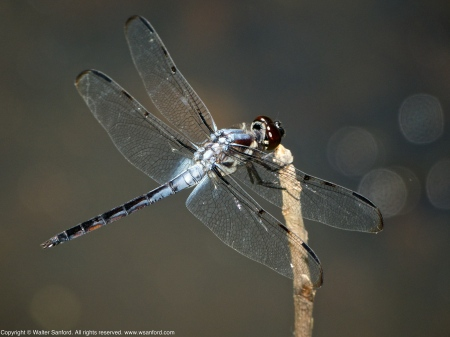 Bar-winged Skimmer dragonfly (young adult male)