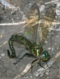 Swamp Darner dragonfly (female, oviposition)