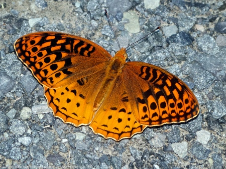 Great Spangled Fritillary butterfly (Speyeria cybele)