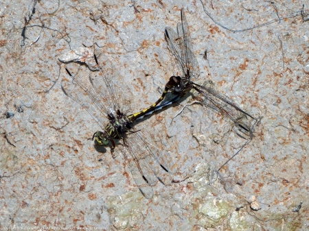 Common Sanddragon dragonflies (mating pair, in wheel)