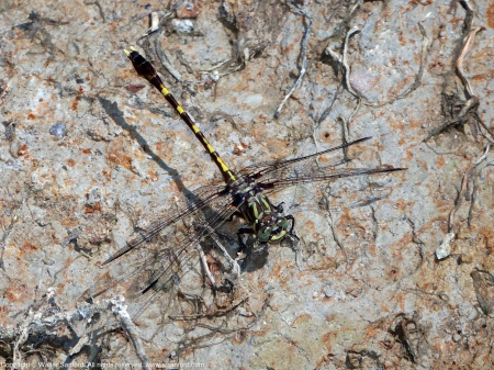Common Sanddragon dragonfly (Progomphus obscurus)