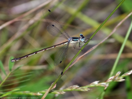 Slender Spreadwing damselfly (female)