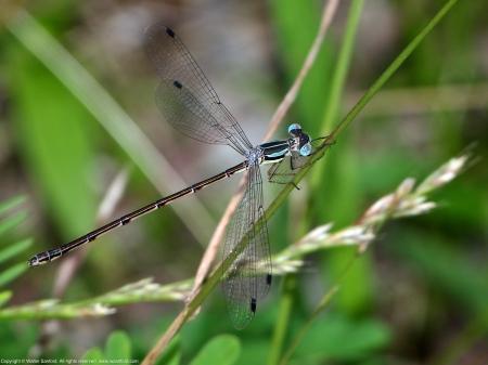 Slender Spreadwing damselfly (female)