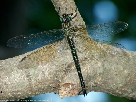 Swamp Darner dragonfly (resting after oviposition)