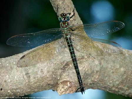 Swamp Darner dragonfly (resting after oviposition)