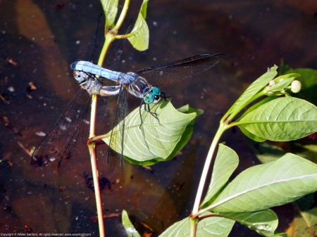Blue Dasher dragonflies (mating pair)