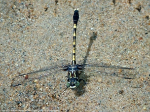 Common Sanddragon dragonfly (male)