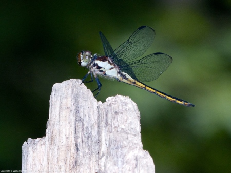 Slaty Skimmer dragonfly (immature male)