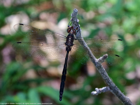 Emerald dragonfly, probably a Mocha Emerald (Somatochlora linearis)