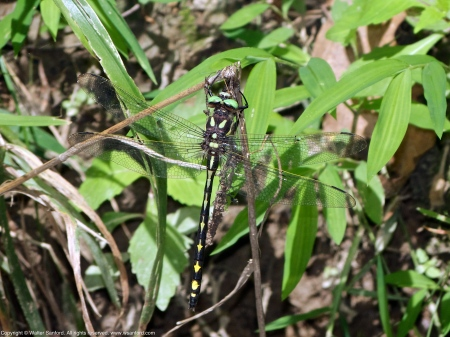 Arrowhead Spiketail dragonfly (male)