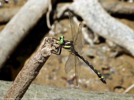 Arrowhead Spiketail dragonfly (male)