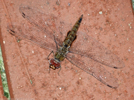 Spot-winged Glider dragonfly (Pantala hymenaea)