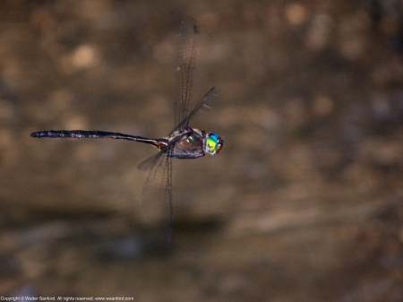 Mocha Emerald dragonfly (male, in flight)