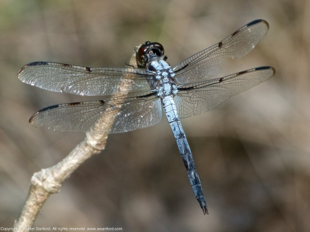 Bar-winged Skimmer dragonfly (adult male)