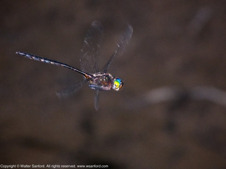 Mocha Emerald dragonfly (male, in flight)