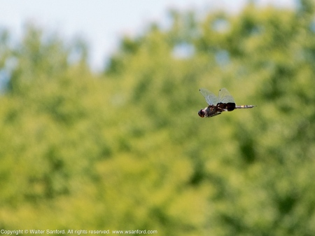 Black Saddlebags dragonfly (male, in flight)