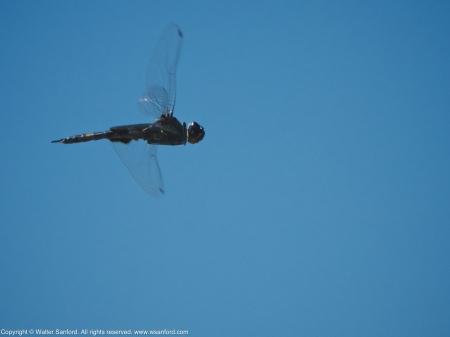 Black Saddlebags dragonfly (male, in flight)